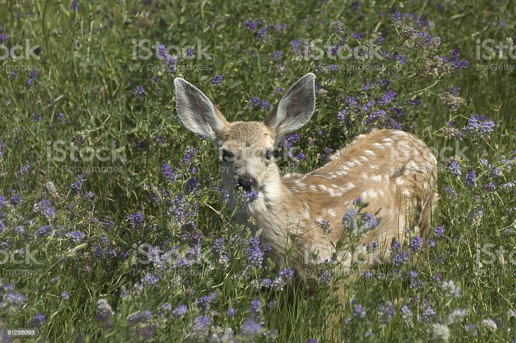 Mule Deer Fawn royalty-free stock photo