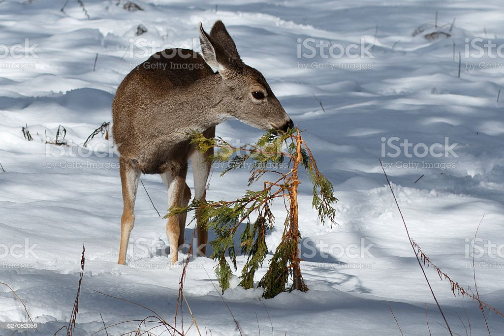 Mule deer fawn sniffing a bush in snow stock photo