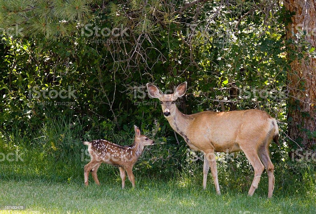 Mule Deer & Fawns stock photo