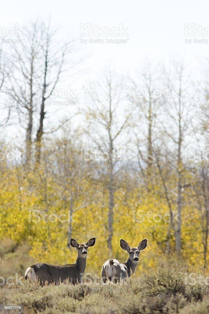 Mule Deer framed in yellow Aspen trees stock photo