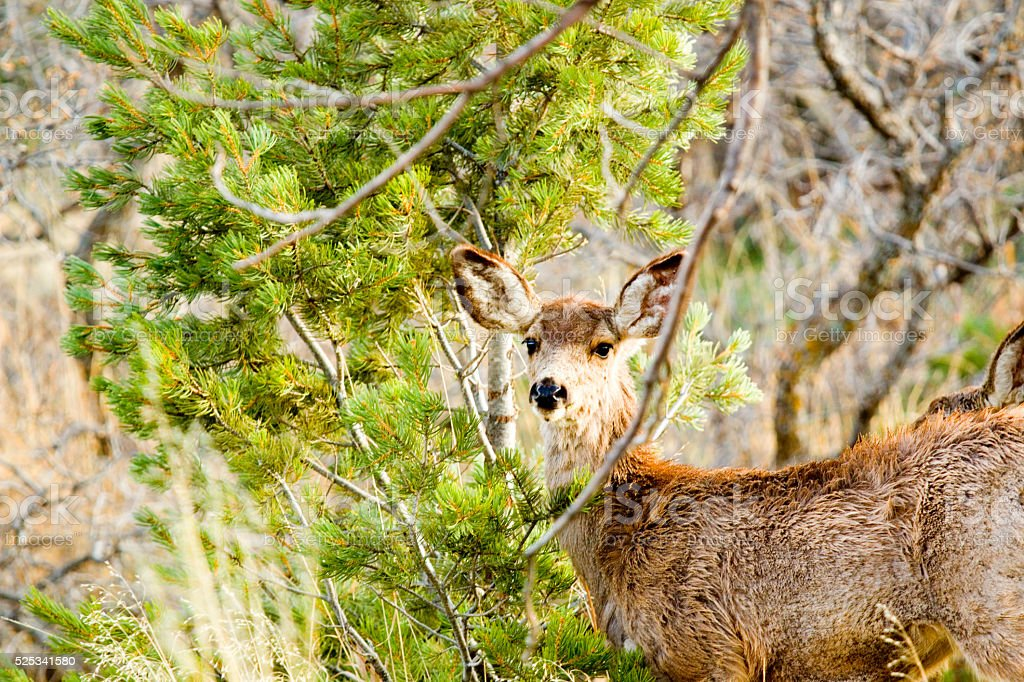 Mule Deer Frolicking on a Colorado Spring Afternoon stock photo