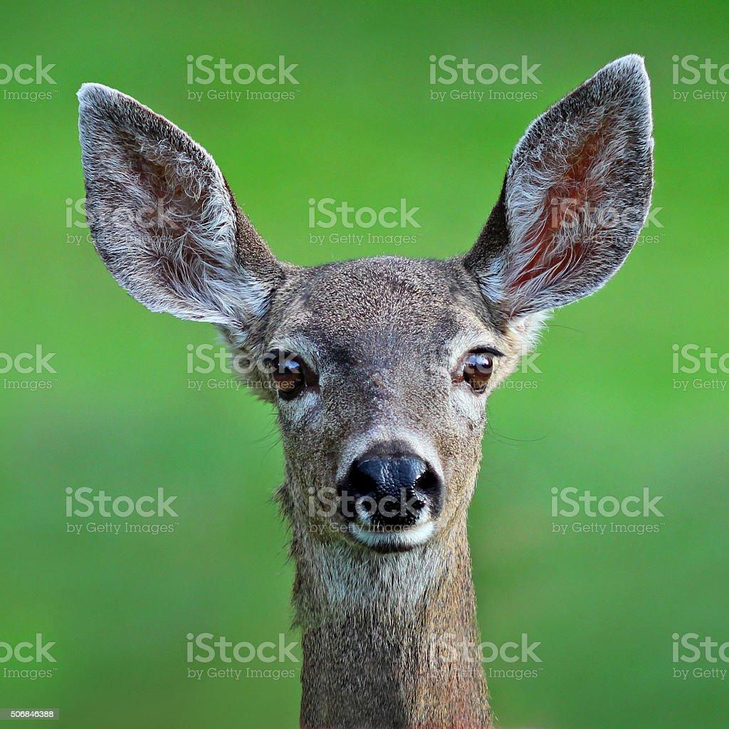 Mule Deer Head stock photo