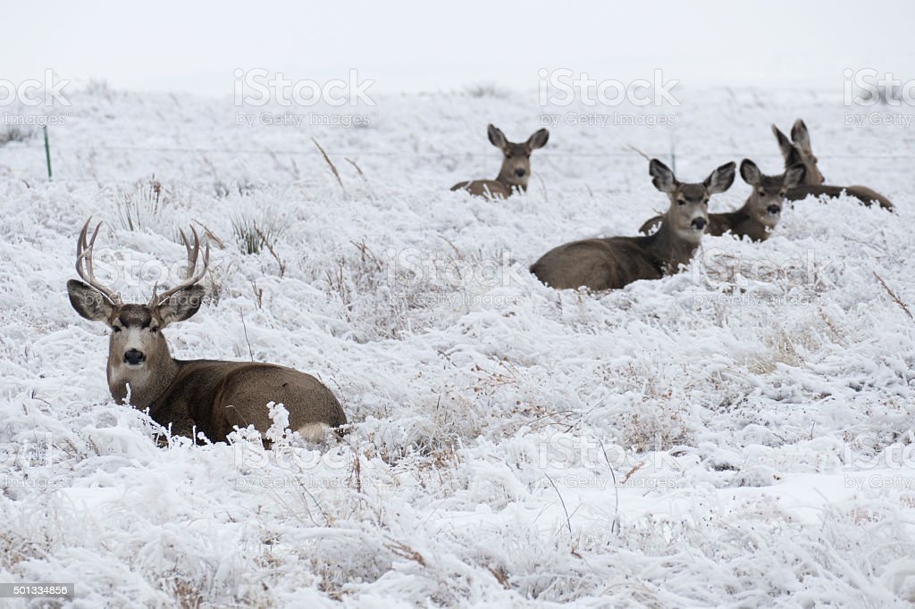 Mule deer herd relax on frosty snowy Colorado plains stock photo