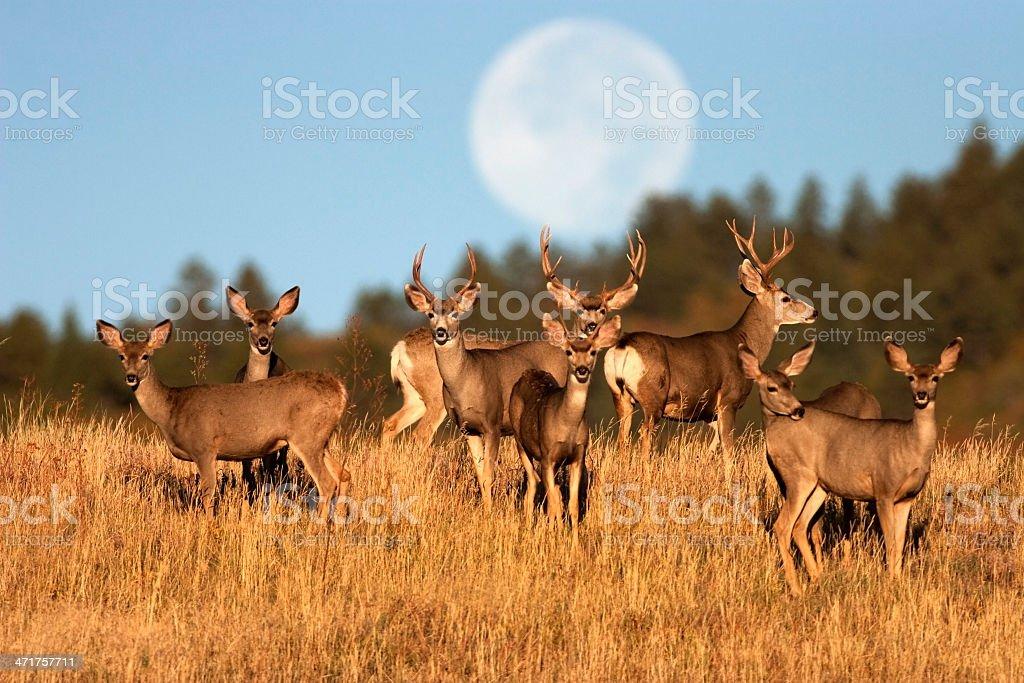 Mule deer herd Roxburough State Park Colorado stock photo