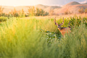 Mule Deer in a Meadow and Corn Field