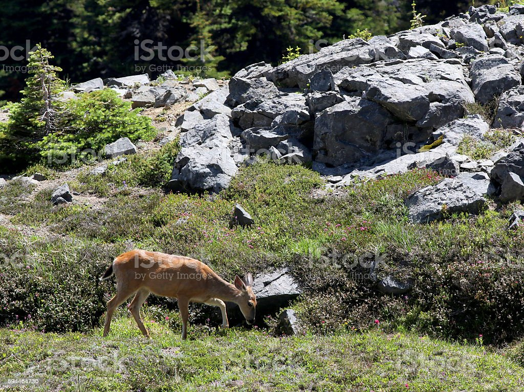 Mule Deer in a Rocky Field stock photo