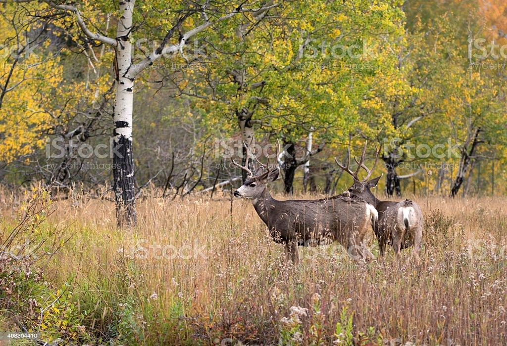 Mule deer in aspen stock photo