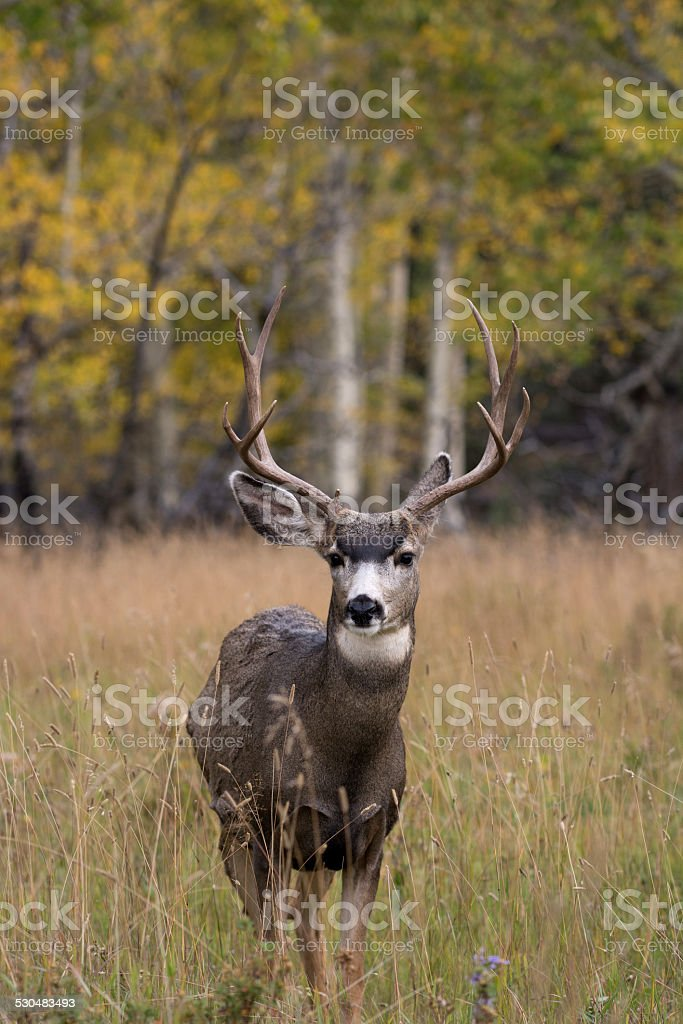 Mule deer in aspen stock photo
