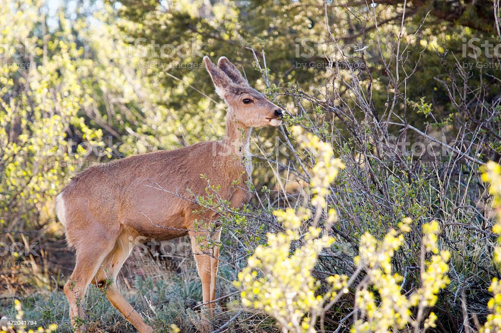 Mule Deer in Garden of the Gods stock photo
