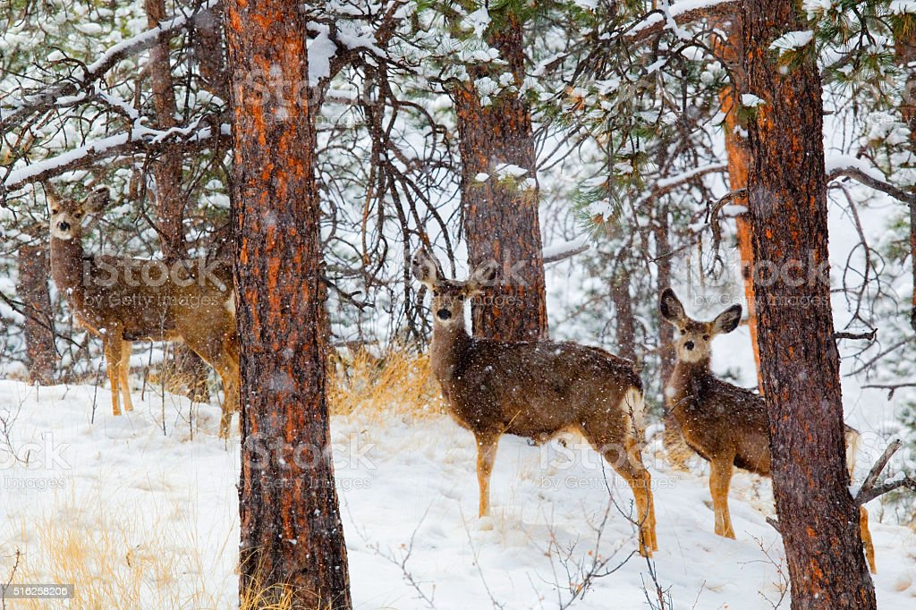 Mule Deer in Heavy Snow in the Pike National Forest stock photo