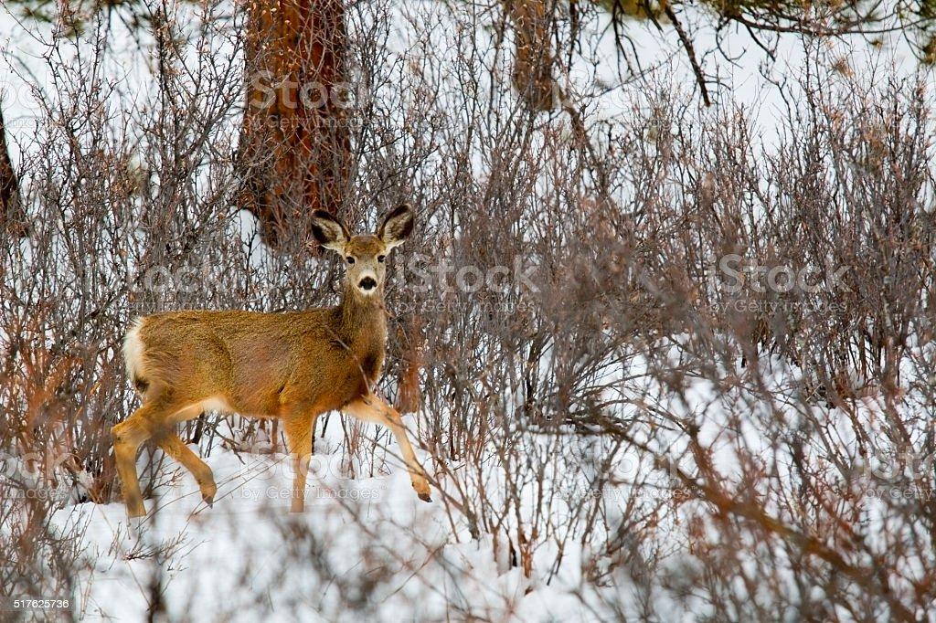 Mule Deer in Heavy Snow stock photo