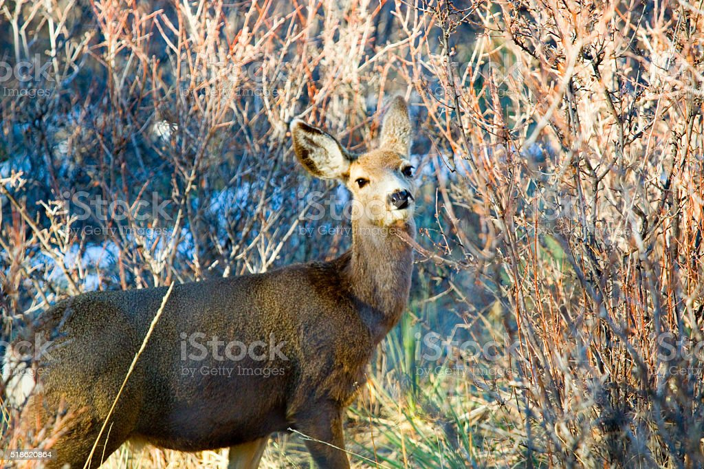 Mule Deer in Pike National Forest and Snow stock photo
