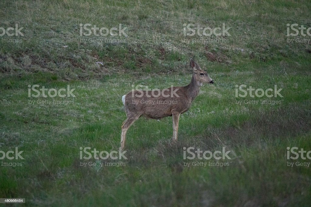 Mule Deer in profile at Grand Canyon royalty-free stock photo