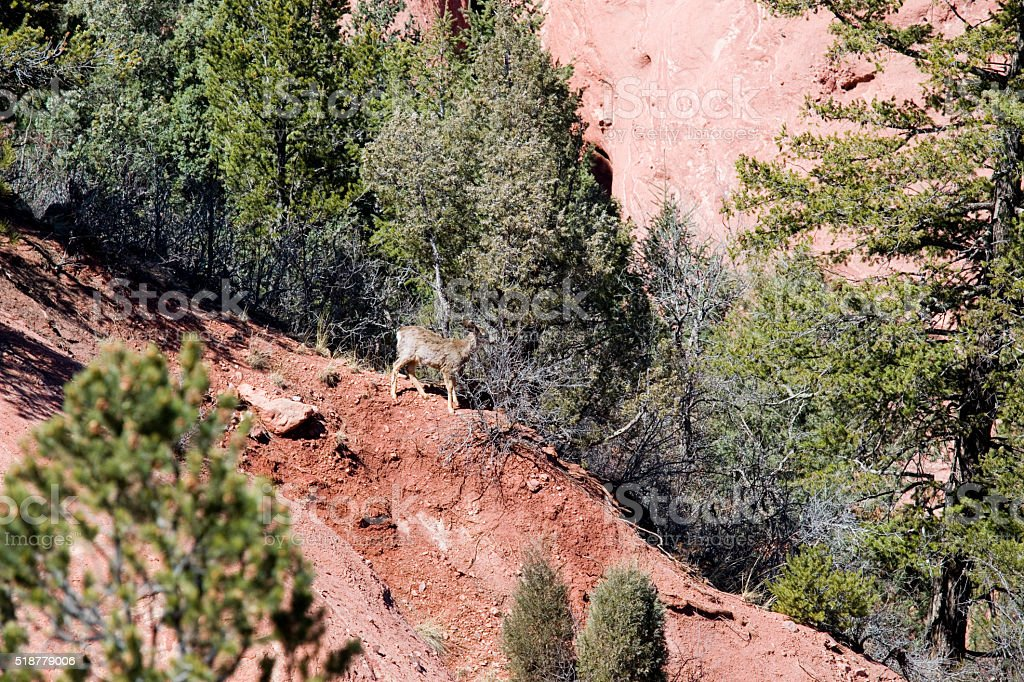 Mule Deer in Red Rock Canyon stock photo