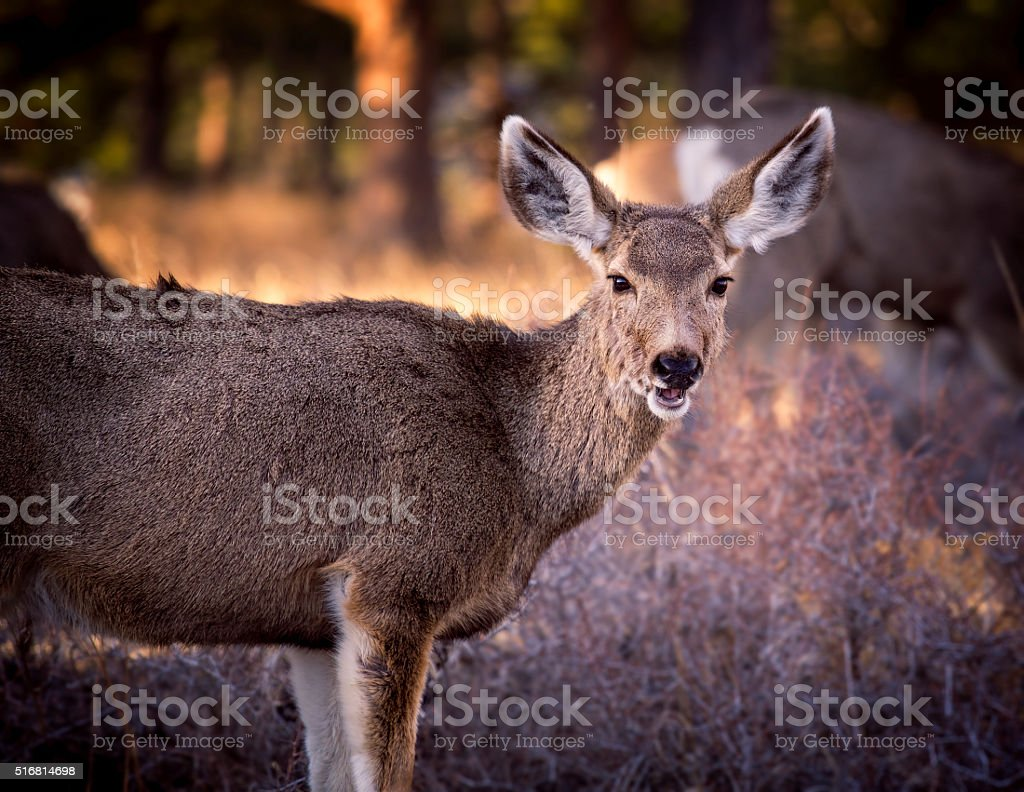 Mule Deer in Rocky Mountain National Park, Colorado stock photo