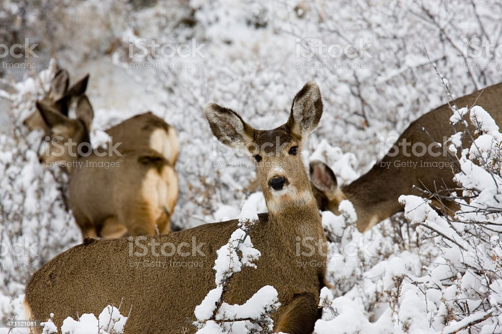 Mule Deer in Snow in the Pike National Forest stock photo