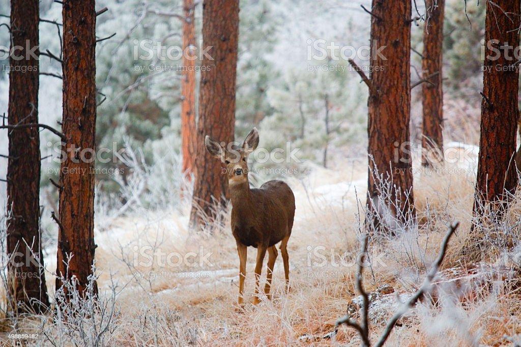 Mule Deer in Snowstorm on Bald Mountain stock photo