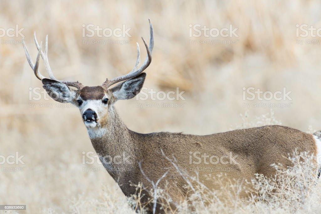 Mule Deer in Southern Oregon stock photo