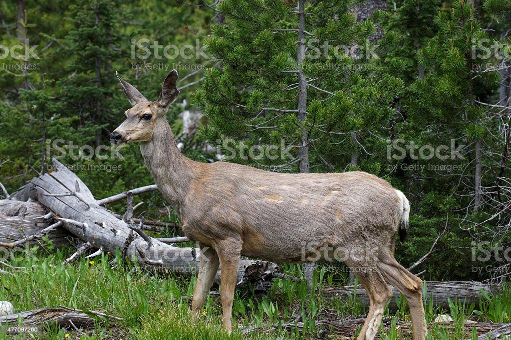 Mule Deer in spring walking through forest stock photo