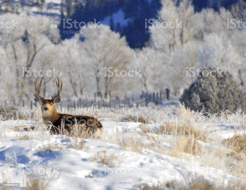 Mule Deer in the Mountans stock photo