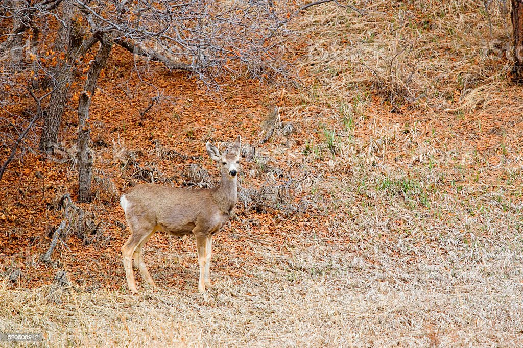 Mule Deer in the Pike National Forest stock photo