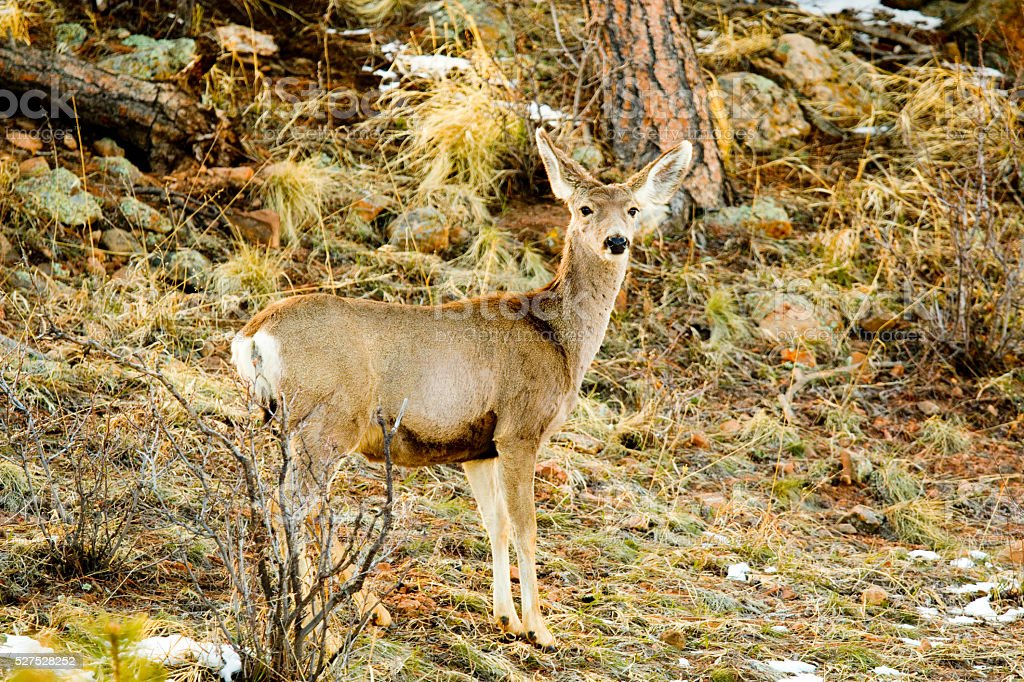 Mule Deer in the Pike National Forest Snow stock photo