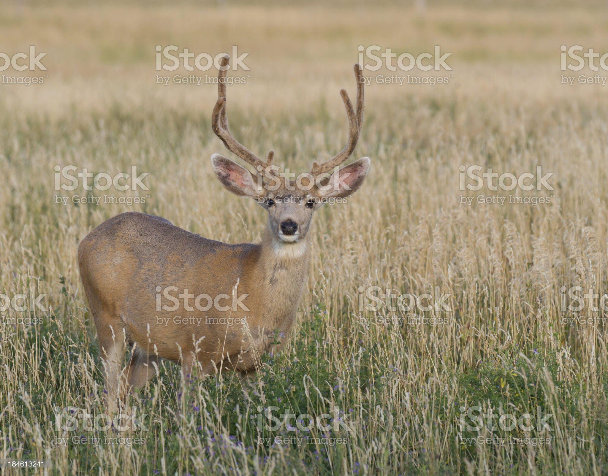 Mule deer in the velvet royalty-free stock photo