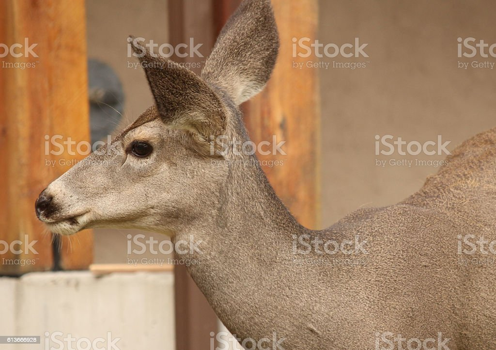 Mule Deer in Town stock photo