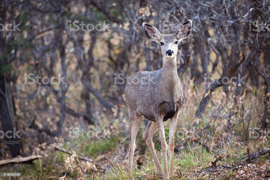 Mule Deer in Western Colorado Natural Habitat in Autumn stock photo