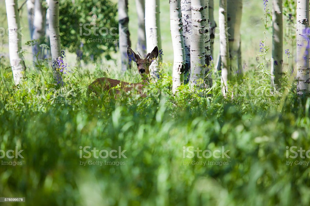 Mule Deer in Western Colorado Natural Habitat in summer stock photo