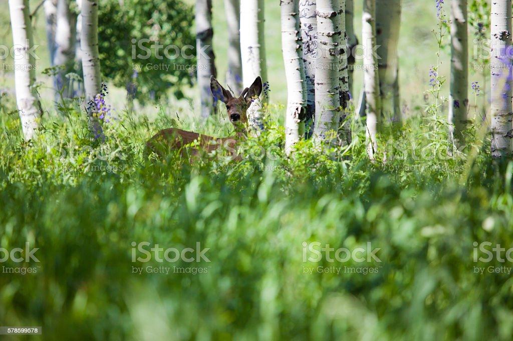 Mule Deer in Western Colorado Natural Habitat in summer stock photo