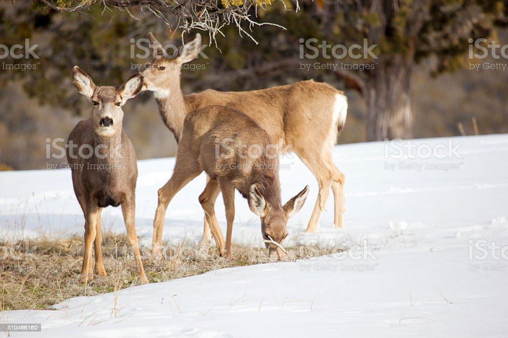 Mule Deer in Western Colorado Natural Habitat in winter stock photo