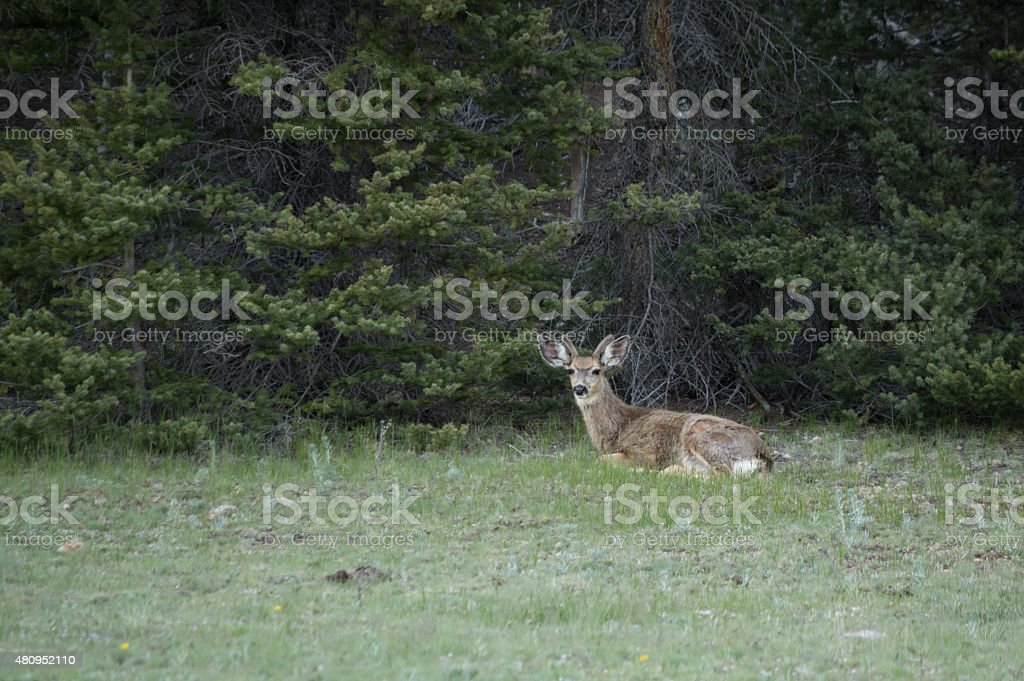 Mule Deer laying down at Grand Canyon royalty-free stock photo