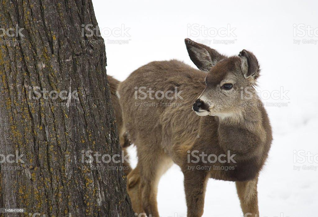 Mule deer on a snowy backdrop stock photo