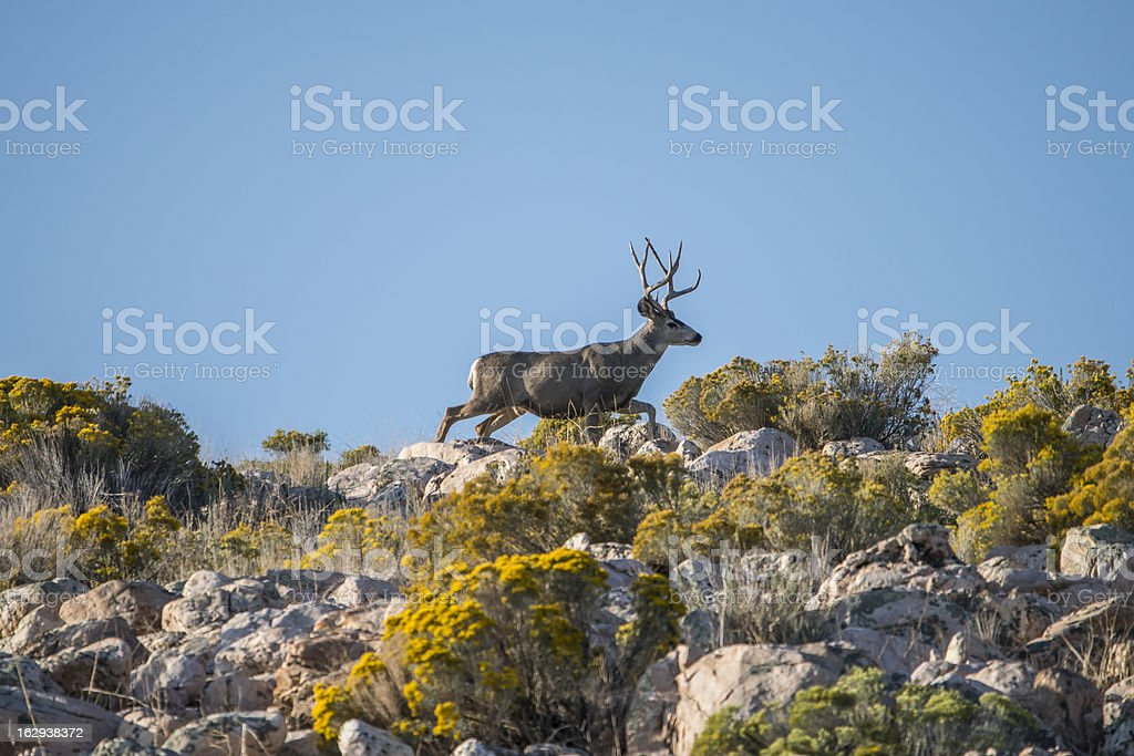Mule Deer stock photo