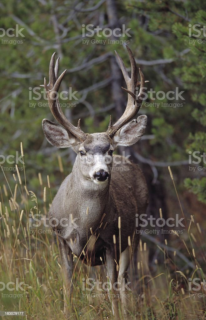 Mule Deer (Odocoileus hemionus) royalty-free stock photo