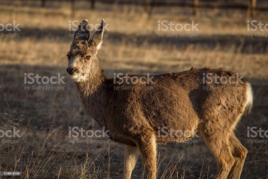 Mule Deer, Rocky Mountain National Park, Colorado stock photo