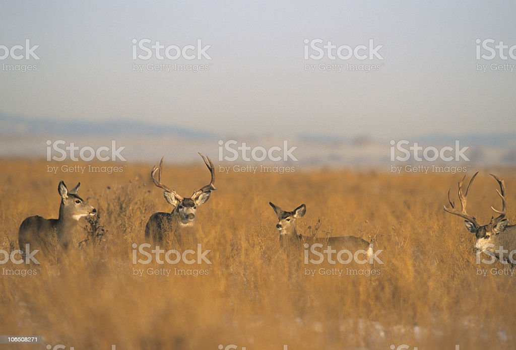 Mule Deer Rut stock photo