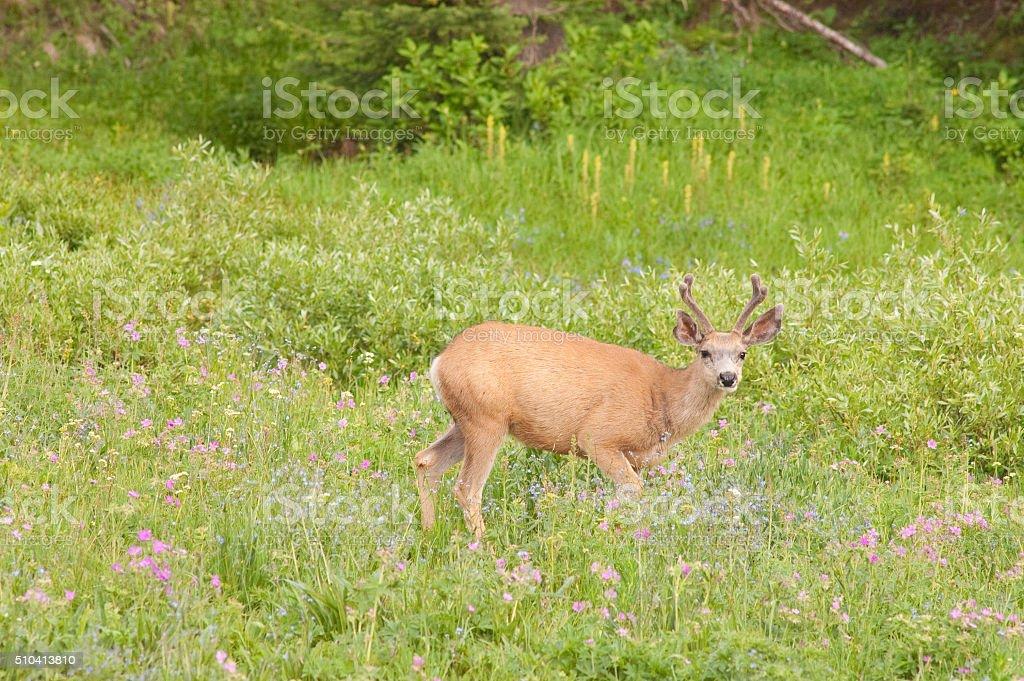 Mule deer tiptoeing through the wildflowers stock photo