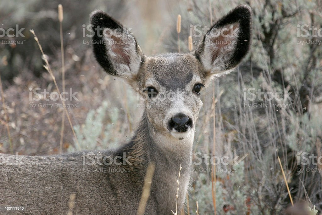 Mule Deer Yearling stock photo