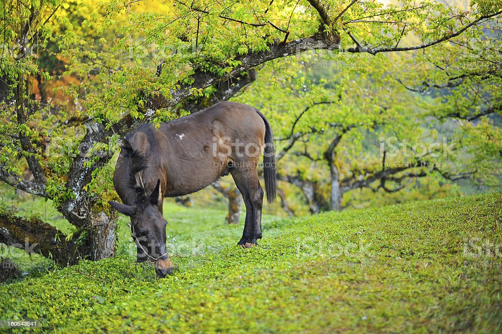 mule eating a grass royalty-free stock photo