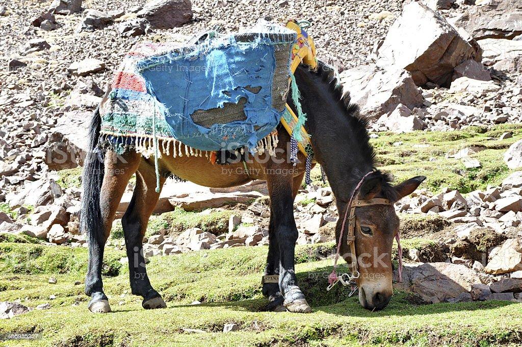 Mule grazind grass stock photo