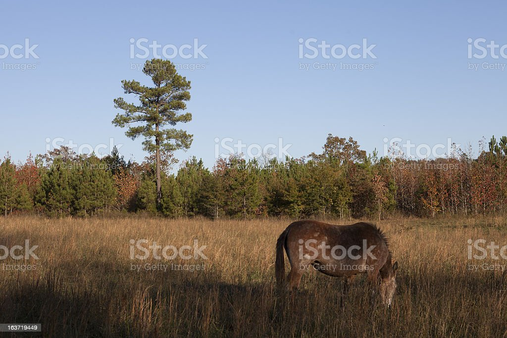 Mule Grazing on the Farm in the Autumn Season. royalty-free stock photo