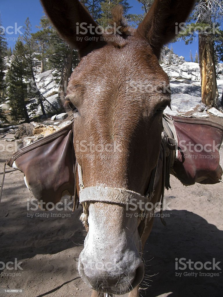 Mule head close-up with bags royalty-free stock photo