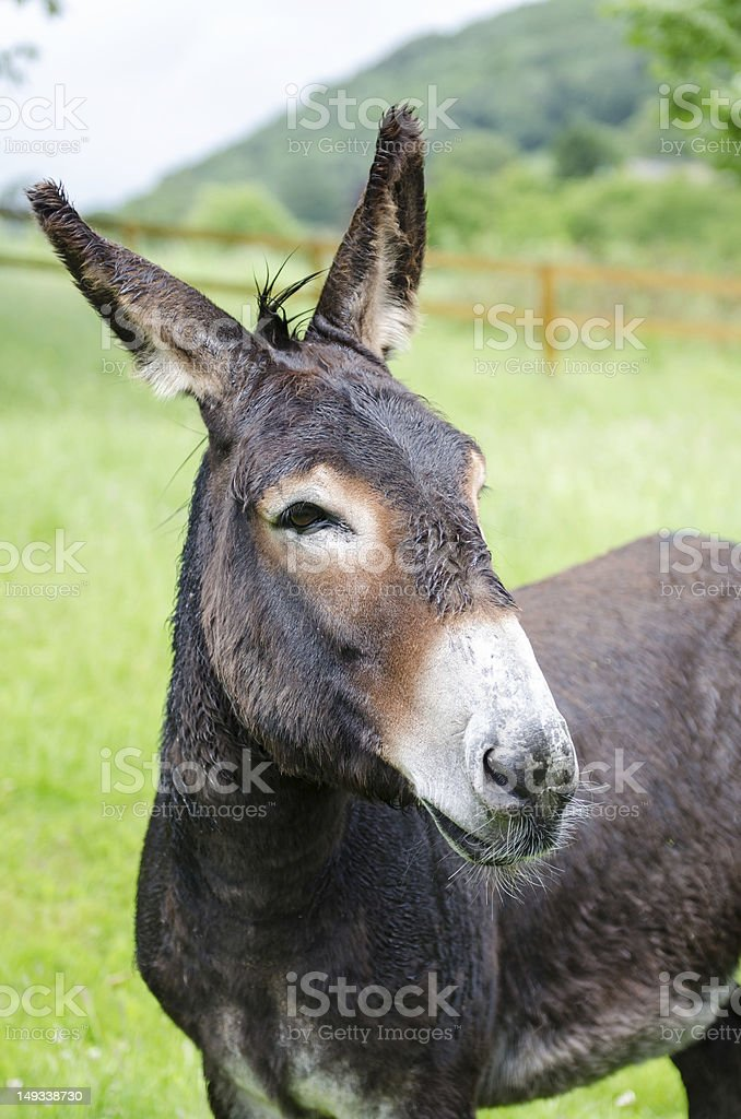 mule in a field royalty-free stock photo