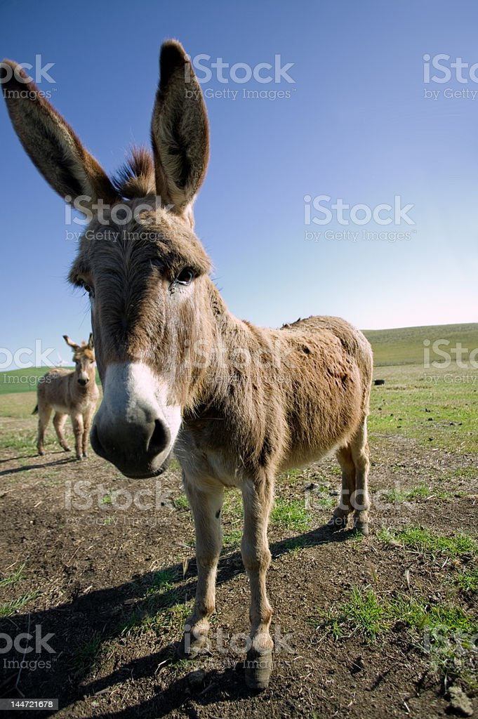 mule in bright morning sun royalty-free stock photo