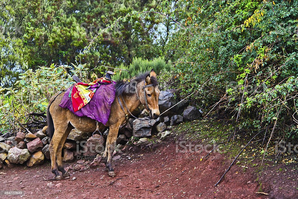 Mule in Ethiopia royalty-free stock photo