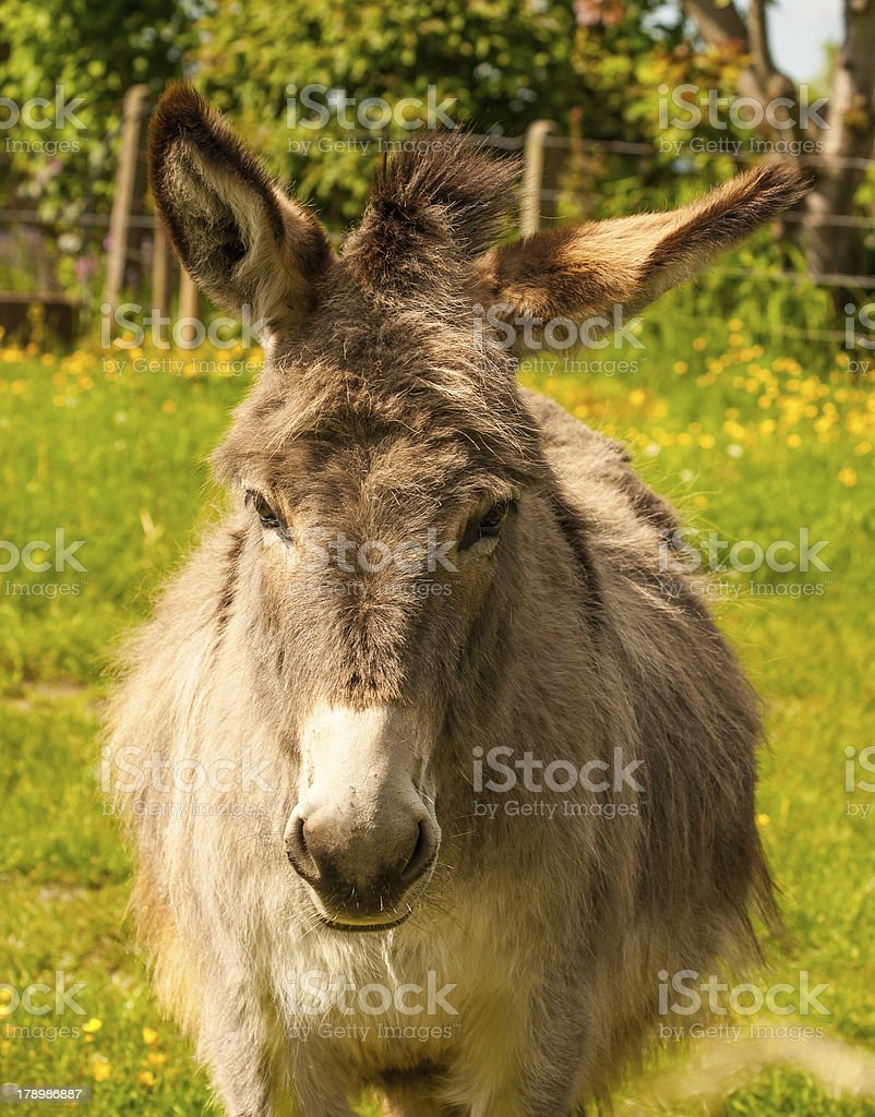 Mule in Field on sunny day royalty-free stock photo