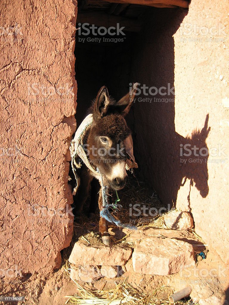 mule in morocco royalty-free stock photo