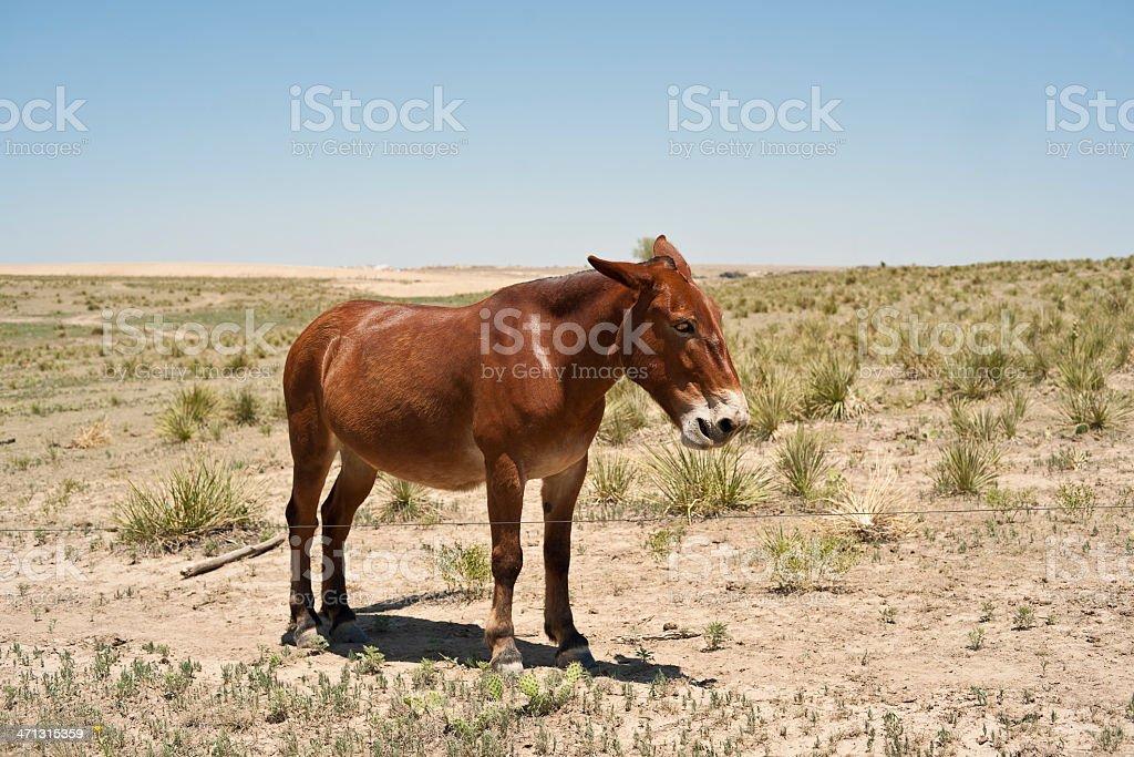 Mule on prairie pasture  (XXXL) royalty-free stock photo